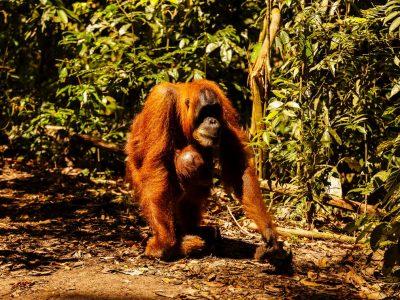 Sumatra - Bukit Lawang - day 2 & 3